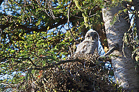 Great Grey Owlet at nest in Yellowstone National Park