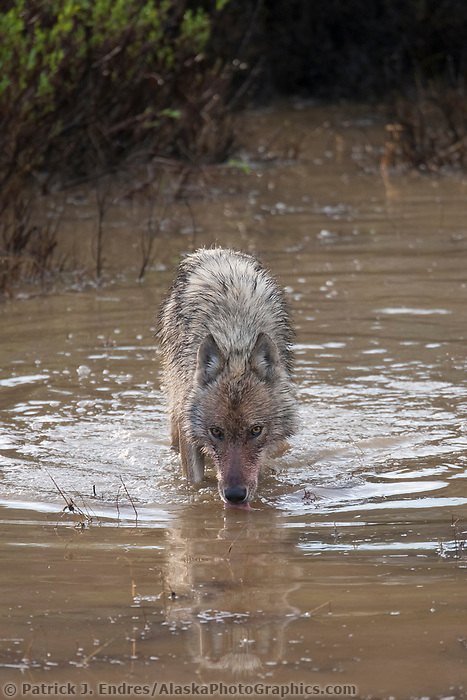 Wolf drinks in a small tundra pond, Denali National Park, Alaska.