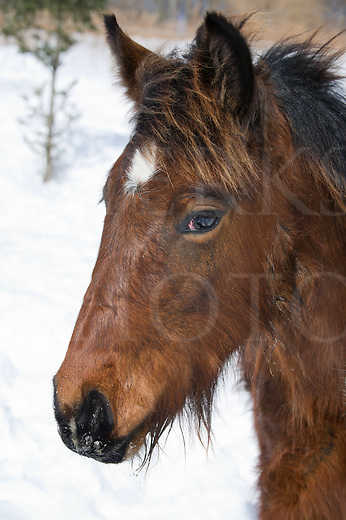 Gypsy Vanner horse head shot with long flowing mane and forelock hair, a young yearling in winter coat, wet and icy from playing outside, Pennsylvania, PA, USA.