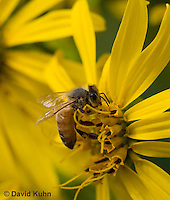 0715-0901  Honeybee Pollinating Flower, Apis mellifera  © David Kuhn/Dwight Kuhn Photography