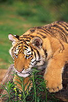 684089224 a captive siberian tiger cub panthera tigris altaicia lays on a large log species is highly endangered native to the high steppe plateaus of central asia and this is a wildlife rescue animal