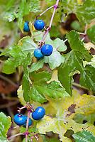 Ampelopsis brevipedunculata var. maximowiczii 'Elegans' in berries fruit, blue berry, Variegated Porcelain berry vine
