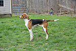 American Foxhound <br /> <br /> <br /> <br /> Shopping cart has 3 Tabs:<br /> <br /> 1) Rights-Managed downloads for Commercial Use<br /> <br /> 2) Print sizes from wallet to 20x30<br /> <br /> 3) Merchandise items like T-shirts and refrigerator magnets