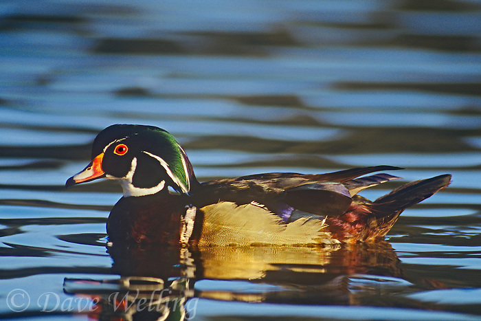 520557058 a wild male wood duck aix sponsa swims in a pond in bosque del apache national wildlife refuge in new mexico united states