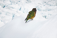 Native parrot - KEA - in its natural environment, on Franz Josef Glacier, Westland National Park, West Coast, New Zealand