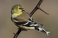 Goldfinch in February with 'scissored' wing tips and 180 look-back pose.
