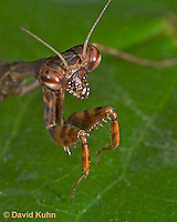 "0203-07pp  Budwing Mantis ""Nymph"" - Parasphendale agrionina ""Nymph"" © David Kuhn/Dwight Kuhn Photography"