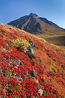 Autumn colors decorate the tundra in the Brooks range mountains, arctic, Alaska.