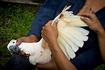 A Seram cockatoo at the Masihulan Wildlife Rehabilitation Center. Rescued from an illegal wildlife trade, birds here undergo rehabilitation before release into their native forests. This bird's flight feathers were clipped by poachers. To stimulate regrowth, some feathers must be pulled out -- a painful process that this bird has just suffered.