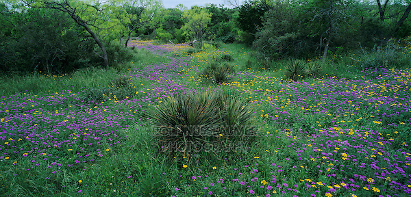 Wildflowers Verbena, Huisache-Daisy and yucca, South Llano River State Park, Hill Country,Texas, USA
