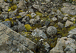 A white-tailed Ptarmigan is barely noticable on the ground of Wrangell-Saint Elias National Park, Alaska.