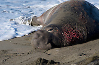 Male Northern Elephant Seal (Mirounga angustirostris) with wound from territorial dispute.