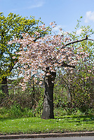 Roads Beautifying Association Cherry Trees, Prunus, near Hampton Court, England