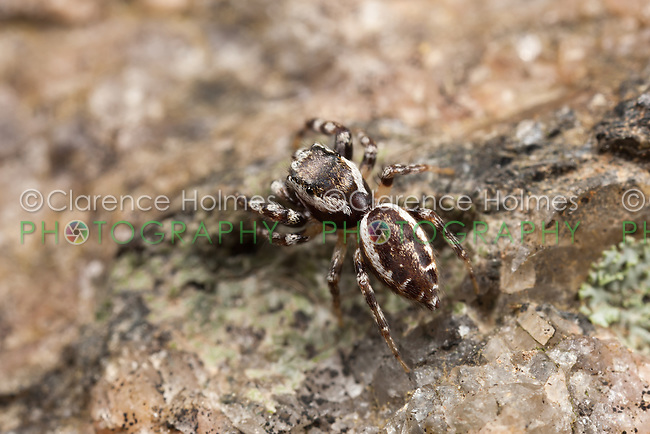 Jumping Spider (Pelegrina proterva) - Male, West Harrison, Westchester County, New York