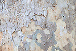 Close-up view of the bark of Platanus racemosa, a species of sycamore tree (common names: California sycamore, Western sycamore, California plane tree, and in Spanish Aliso) at the Santa Barbara Botanic Garden, Santa Barbara, California, USA