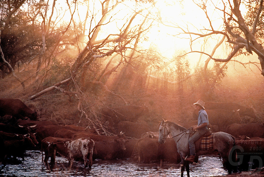 Cattle muster Outback Australia