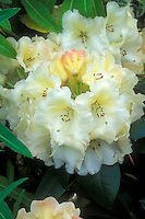 Rhododendron 'Horizon Monarch' flowers and buds closeup