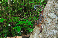 Scorpion, Ankarana National Park, Northern Madagascar