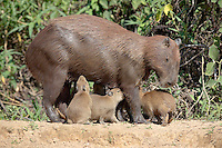 Capybara (Hydrochaeridae capybara), Pantanal, Brazil