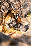 Tiger, Bandhavgarh National Park, India