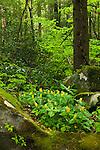 Yellow trillium (Trillium luteum) in spring forest