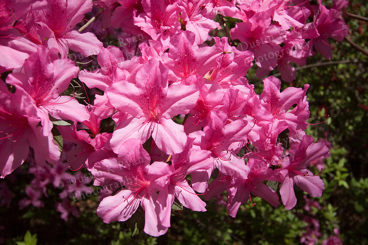 Azaleas pink blooming flowers sun lit south carolina lowcountry