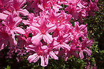 Azaleas pink blooming flowers sun lit south carolina lowcountry