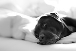 Black and white portrait of a Labrador