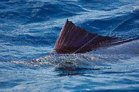qh70020-D. Atlantic Sailfish (Istiophorus albicans) on the line, caught by lucky fisherman. Some consider this the same species as the Indo-Pacific Sailfish (I. platypterus). Mexico, Gulf of Mexico..Photo Copyright © Brandon Cole. All rights reserved worldwide.  www.brandoncole.com..This photo is NOT free. It is NOT in the public domain. This photo is a Copyrighted Work, registered with the US Copyright Office. .Rights to reproduction of photograph granted only upon payment in full of agreed upon licensing fee. Any use of this photo prior to such payment is an infringement of copyright and punishable by fines up to  $150,000 USD...Brandon Cole.MARINE PHOTOGRAPHY.http://www.brandoncole.com.email: brandoncole@msn.com.4917 N. Boeing Rd..Spokane Valley, WA  99206  USA.tel: 509-535-3489
