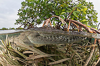TH3920-D. American Crocodile (Crocodylus acutus) rests at the surface in shallow water among the roots of Red Mangrove (Rhizophora mangle) trees. Growing to 6 meters long, this is one of the larger crocodilians in the New World tropics and potentially dangerous towards people. This species is comfortable in both fresh and saltwater. It feeds on fish, crabs, turtles, birds, and even mammals such as deer. Cuba, Caribbean Sea.<br /> Photo Copyright &copy; Brandon Cole. All rights reserved worldwide.  www.brandoncole.com