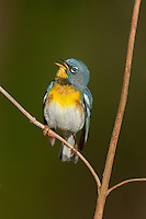 561000033 a wild male northern parula setophaga americana - was parula americana perches on a small plant and sings to defend territory near caddo lake in marion county texas