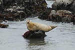 harbor seal on rock at Pebble Beach