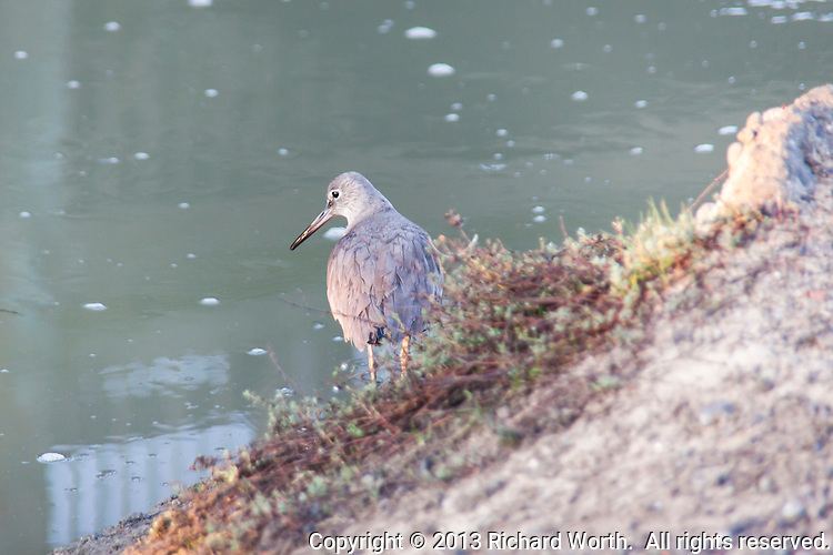 A Willet, a large shorebird, stands at the edge of a pond, part of the Hayward Regional Shoreline.
