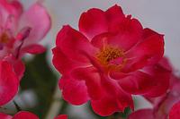 Fiori.Flowers.Rosa.Rose...