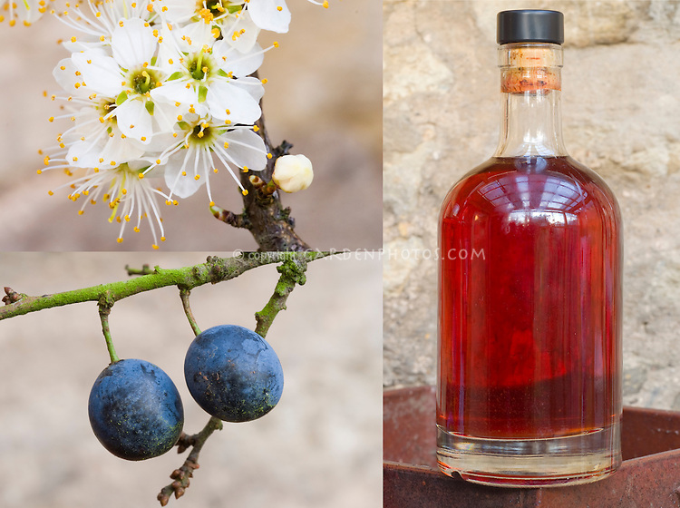 3 stages of sloe gin made from Prunus spinosa: flowers, blue berries, bottle of sloe gin alcohol made from the berries