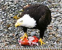 2015 Calendar - Birds of a Feather with photography by Chris Bidleman.<br /> Bald eagle in Sitka, Alaska shows other eagles that this piece of fish is &quot;mine&quot; while standing on a rocky beach.