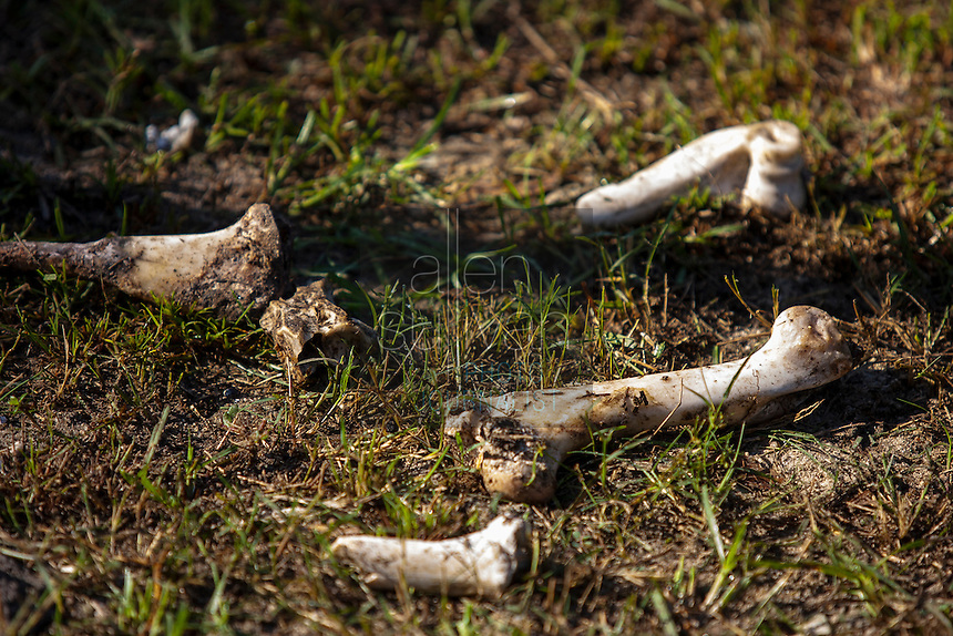 Animal bones on the ground during a raid on a puppy mill in Johnston, SC on Tuesday, Sept. 11, 2012. HSUS workers found over 200 dogs, nine horses and 30-40 fowl.