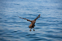 Brown Skua or Southern Skua (Catharacta antarctica) adult landing on water, False Bay, South Africa.
