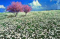 Field of Oxeye Dasies with two red bud trees in bloom.