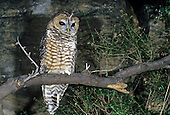 Spotted Owl (Strix occidentalis), an endangered or threatened species, Western North America.