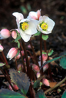 Helleborus niger 'Louis Cobbett'