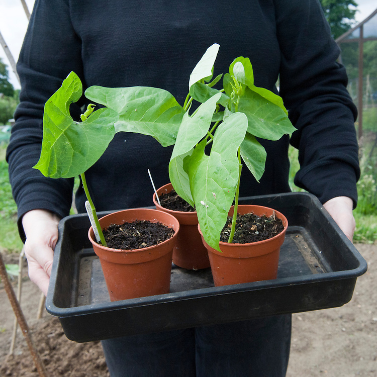 French bean seedlings ready for planting out, mid June.