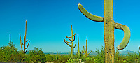 Close-up of a Saguaro cactus in a national park, Saguaro National Park, Arizona, USA (Carnegiea gigantea), panorama