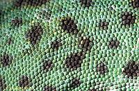 CH15-009z  African Chameleon - close-up of skin, scales - Chameleo senegalensis