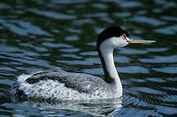 537937001 a wild adult clarks grebe podiceps clarkii swims in a small estuary in santa barbara county california