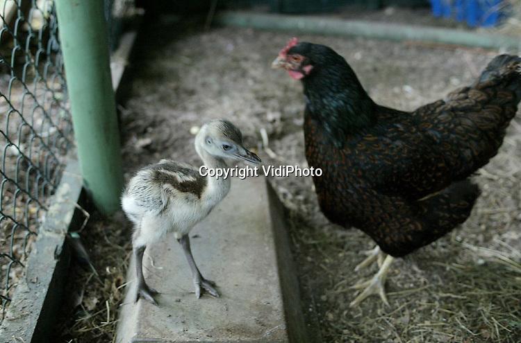 Foto: VidiPhoto..RHENEN - Door Nandoe-jong Olaf uit huis te plaatsen en bij pleegmoeder Ewa in het kippenhok onder te brengen, is het pasgeboren diertje van een wisse dood gered. Vader Nandoe broedt in Ouwehands Dierenpark in Rhenen op dit moment zo'n 20 eieren uit en verlaat het nest niet. Het is gebruikelijk dat de eerste nandoejongen dan door de vader worden doodgepikt. Kippenmoeder Ewa beschouwt haar pleegzoon inmiddels als haar eigen kind. Andersom kan ook Olaf zijn pleegmoeder niet meer missen.