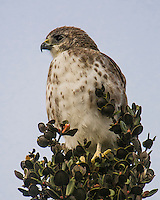 An observant 'io (native Hawaiian hawk) on the Big Island of Hawai'i.
