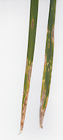 Iris rust disease spots on leaves of Iris foetidissima, leaves arranged on white background