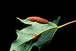 Galls on maple leaf