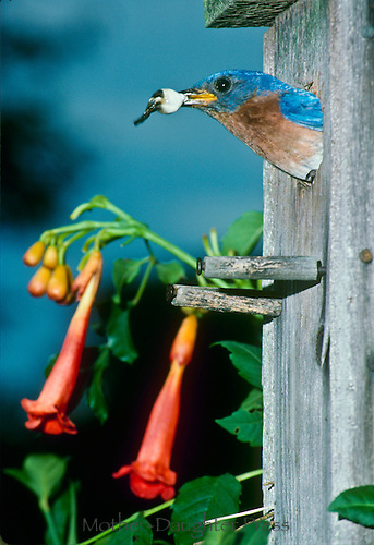 Bluebird, Sialia sialis, removing fecalsac made by nestlings from birdhouse, summer, Midwest USA